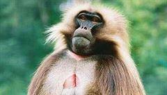Bohatý indický pár nemá děti, tak odkázal majetek opici