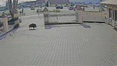 Mladý divočák vnikl do zlínské ZOO. Roztrhaly ho hyeny