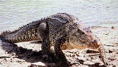 Na Kubu se ze Švédska vrátí ohrožení krokodýli kubánští