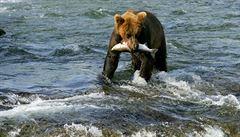 Kvůli mírné zimě zatím medvědi na Aljašce nespí