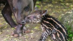 V pražské zoologické zahradě se narodil tapír jihoamerický
