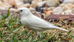 Bílý vrabec. Ptačího albína zachytil fotograf v Austrálii