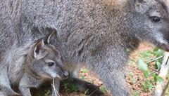 Klokaní mláďata ze zlínské ZOO se představila návštěvníkům