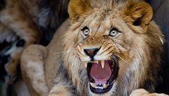 Muž v Chile v zoo vlezl do výběhu lvů, chtěl spáchat sebevraždu