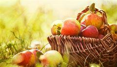 Kříženec HL 209. Nejchutnější odrůdu jablek v obchodech nekoupíte