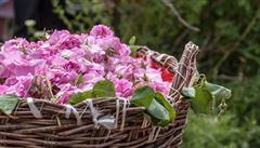 Bylinková abeceda. Šípková růže podporuje pocení a je močopudná
