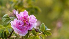 Pěstitelé růží v Turecku se snaží zachovat tradici