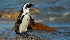 Cesta za svobodou? Tučňák doplaval z gruzínské zoo až k ázerbájdžánským hranicím