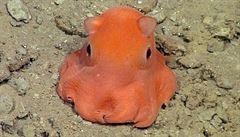 Američtí vědci hledají jméno pro rozkošnou chobotnici