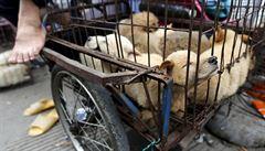 Číňanka zaplatila za záchranu 100 psů. Měli být snědeni na festivalu