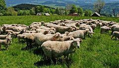 Osobní vlak najel na Berounsku do stáda ovcí. Čtyři desítky jich zabil