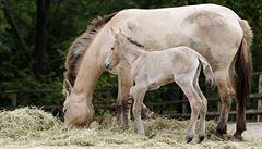 Studie: Koně Převalského nejsou poslední divocí koně na světě