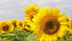 Zeptali jsme se vědců: Jak se otáčejí slunečnice za sluncem?