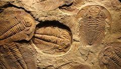 Zeptali jsme se vědců: Jak se rozmnožovali trilobiti?