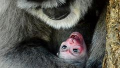 V pražské zoo se narodilo první mládě gibona stříbrného