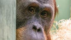 Do pražské zoo se vrátil orangutan Pagy. Po pěti letech v Bratislavě