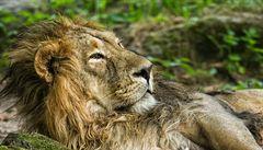 Španělský turista zastřelil nejslavnějšího lva Afriky. Tělo Cecila našli bez kůže a hlavy
