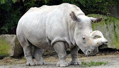 Ve Dvoře Králové zemřela vzácná samice nosorožce Nabiré. Byla jednou z posledních na světě