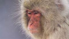 Jsou makakové empatičtí? Mají duši? Vědci zkoumají malé primáty