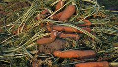 Supermarkety nutí zemědělce plýtvat. 'Křivá' zelenina vadí