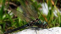 Zeptali jsme se vědců: Prdí také hmyz, například vážky?