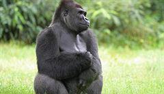 Vědci 'přečetli' genom goril, poslední z lidoopů