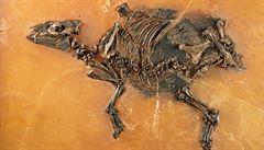 Uvnitř fosilie přapředka koní objevili vědci nenarozené hříbě