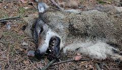 Mrtvý vlk byl mládě narozené v Česku. Na vině je člověk, je to barbarství, tvrdí šéf CHKO