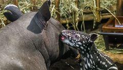 Pražská zoo slaví. Narodilo se mládě tapíra čabrakového