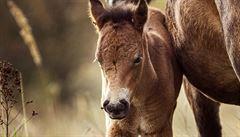 V Milovicích se narodilo první hříbě divokých koní