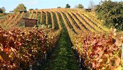 I přes mrazy bude letos dobrá úroda vína. Vinaři hlásí, že dokonce více než loni
