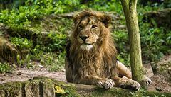 Lvů v Africe dramaticky ubývá. Někde jim prý hrozí i vyhynutí