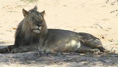 Vědec plánuje ošálit lvy v Botswaně. Maluje oči na kýty krav
