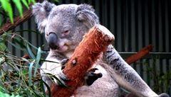 Roztomilý a lenošivý medvídek. Kam se v Austrálii vydat za koalou?