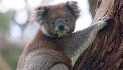 Koaly ohrožuje urbanizace. Zvířata jsou náchylnější k nemocem, tvrdí vědci
