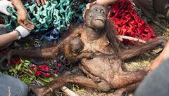 Indonésie hoří, spotřeba palmového oleje roste. Výsledkem je ekologická katastrofa