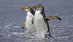 Tučňák královský na Crozetových ostrovech je ohrožen, varují vědci