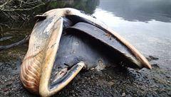 V jižním Chile objevili na pláži 337 mrtvých velryb
