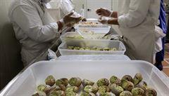 Na talíři ve francouzských restauracích končí šneci nasbíraní u cest