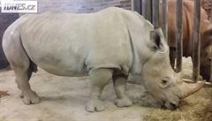 Dvorská zoo získala samce nosorožce tuponosého jižního, má pomoct obnovit chov