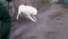 Pracovníci brněnské zoo naháněli uprchlého vlka
