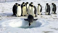 Vědci zjistili u tučňáků v Antarktidě neznámý virus ptačí chřipky
