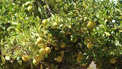 Expert: Možná jednou budeme pěstovat citrusy. Příští rok můžeme čelit jiným extrémním podmínkám