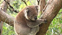 Koalům hrozí vyhynutí více než kdy dříve, mohou za to australské požáry