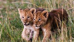 V zoo Plasy pokřtili dvě dvouměsíční lvíčata