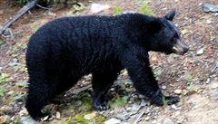 Medvědí rodinka prohnala turisty v Yellowstonském parku