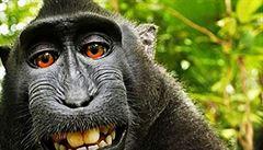Makak si pořídil selfie. Ochránci zvířat mu chtějí přiznat autorská práva
