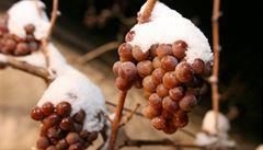 Skvostný vinařský rok 2015. Ledové víno bude excelentní, hlásí pěstitelé