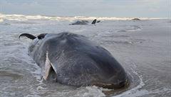 Na nizozemském pobřeží zahynulo pět vorvaňů. Uvízli na mělčině