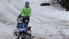 Psí spřežení bez sněhu. Šediváčkův long trápí počasí
